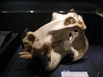 大哺乳類展_42.JPG