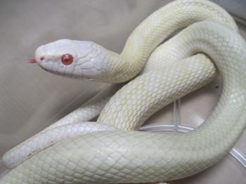 白蛇.jpg