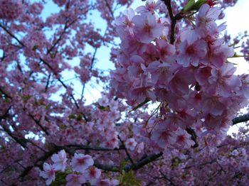 河津桜_09.jpg